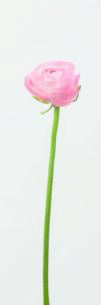 ranunculus rose