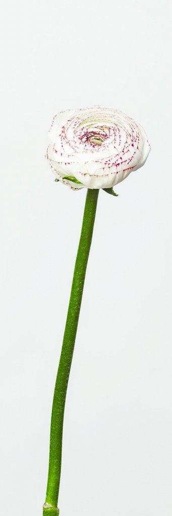 ranunculus white